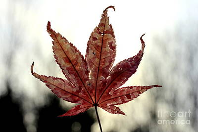 Art Print featuring the photograph Japanese Maple Leaf - 3 by Kenny Glotfelty