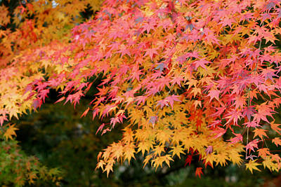 Photograph - Japanese Maple by Living Color Photography Lorraine Lynch