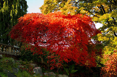 Photograph - Japanese Maple by Tikvah's Hope