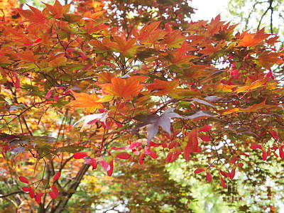 Ready To Fly Photograph - Japanese Maple Spring 2 by Nancy Kane Chapman