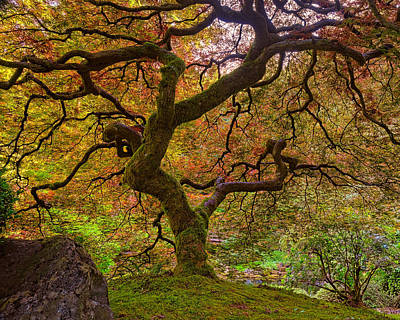 Photograph - Japanese Maple by Thomas Hall
