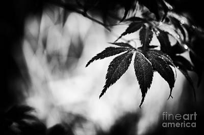 Acer Palmatum Photograph - Japanese Maple by Tim Gainey