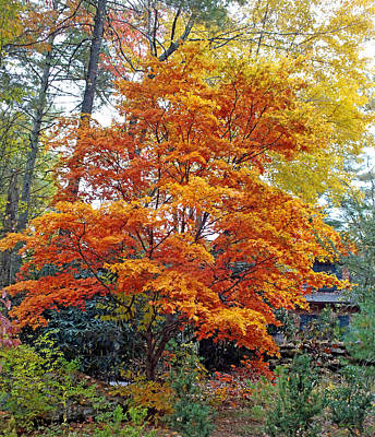 Photograph - Japanese Maple Tree At Peak Color by Duane McCullough