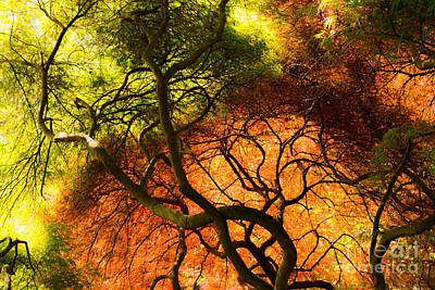 Photograph - Japanese Maples by Angela DeFrias