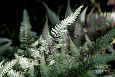 Photograph - Japanese Painted Fern by Living Color Photography Lorraine Lynch