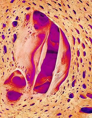 Japanese Pilchard Heart Valve, Sem Print by Science Photo Library