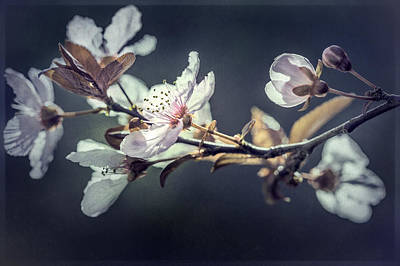 Photograph - Japanese Plum Tree by Kim Swanson