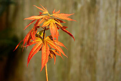 Photograph - Japanese Red Maple by Connie Fox