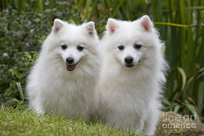 Japanese Dog Photograph - Japanese Spitz Dogs by Jean-Michel Labat