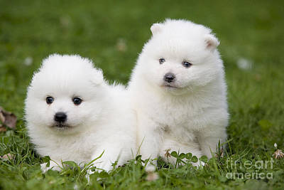 Japanese Dog Photograph - Japanese Spitz Puppies by Jean-Michel Labat