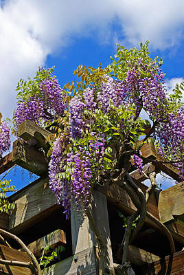 1920s Flapper Girl - Japanese Wisteria On Trellis by Rich Walter