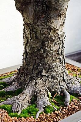 Bonsai Photograph - Japanese Zelkova Bonsai by Cory Dean
