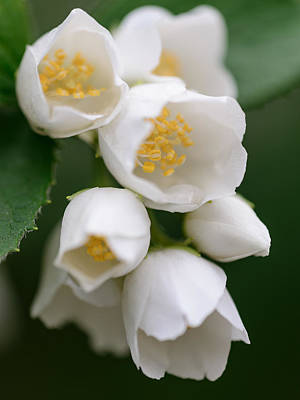 Photograph - Jasmin Flowers by Michael Goyberg