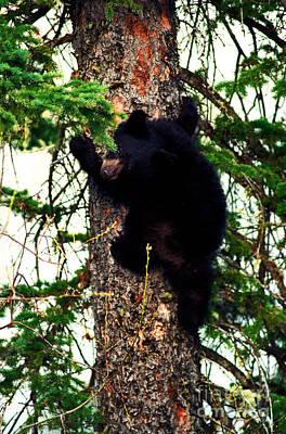 Canada Photograph - Jasper - Black Bear Cub In Tree 2 by Terry Elniski
