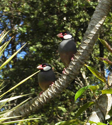 Photograph - Java Sparrows by Colleen Cannon