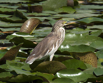 Photograph - Javan Pond Heron Dthn0071 by Gerry Gantt