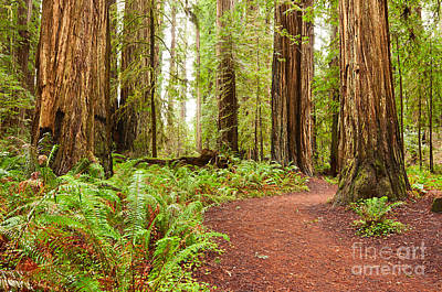 Photograph - Jedediah Trail - Massive Giant Redwoods Sequoia Sempervirens In Redwoods National Park. by Jamie Pham