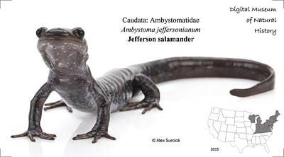 Salamanders Digital Art - Jefferson Salamander by Alex Surcica