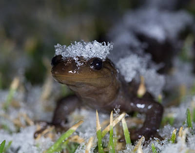 Photograph - Jefferson Salamander by Brian Magnier