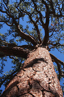 Photograph - Jeffrey Pine by Melinda Fawver