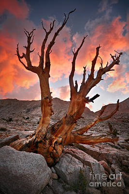 Photograph - Jeffrey Pine by Sean Bagshaw