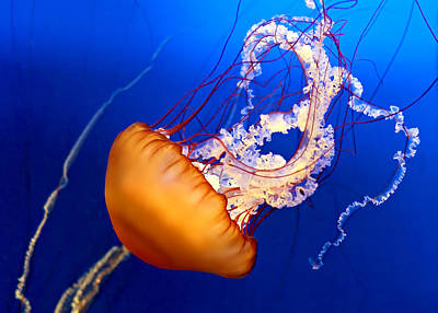 Medusa Photograph - Jelly #2 by Nikolyn McDonald