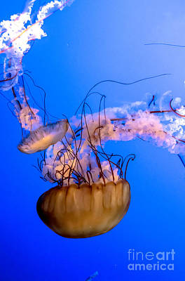 Photograph - Jelly Fish by Cheryl Baxter