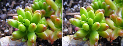 Photograph - Jellybean Succulent Plant In Stereo by Duane McCullough