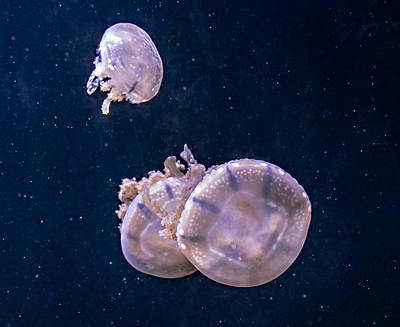 Medusa Photograph - Jellyfish 2 by Steve Harrington