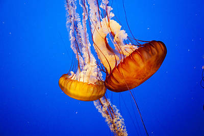Photograph - Jellyfish by Crystal Cox