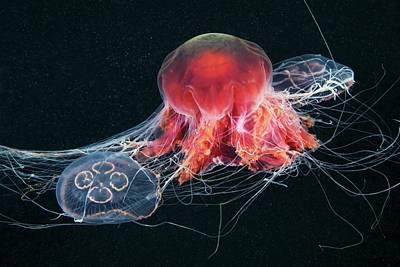 Cyanea Capillata Photograph - Jellyfish Feeding by Alexander Semenov