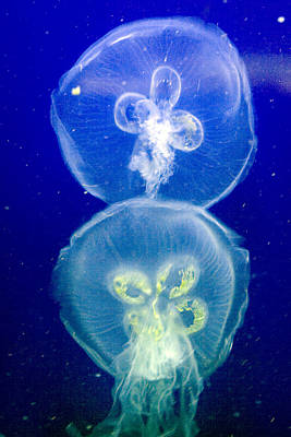 Photograph - Jellyfish by Gene Walls