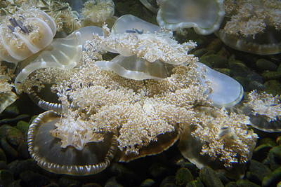 Jellyfish - National Aquarium In Baltimore Md - 121215 Art Print by DC Photographer