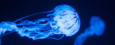 Photograph - Jellyfish Panorama by U Schade