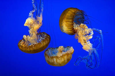 Royalty-Free and Rights-Managed Images - Jellyfish Sea Nettle Marine Life - Ripleys Aquarium Gatlinburg TN by Dave Allen