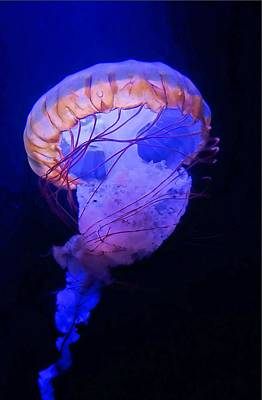 Photograph - Jellyfish Swimming by Jane Girardot