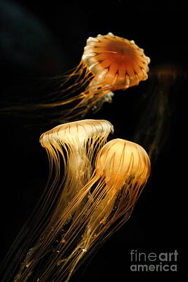 Photograph - Jellyfish Trio On Black by Angela Rath