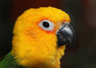 Photograph - Jenday Conure Portrait by Andrea Lazar