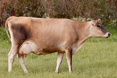Photograph - Jersey Cow In Pasture by Michelle Wrighton
