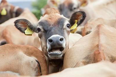 Id Tags Photograph - Jersey Cows On A Farm by Ashley Cooper
