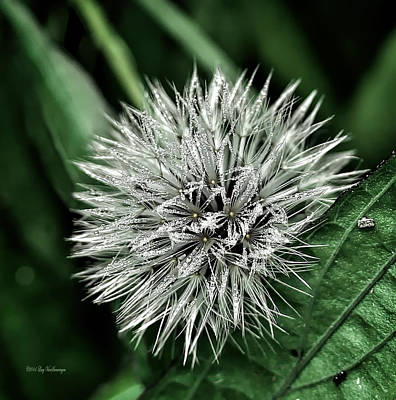 Photograph - Jeweled Dandelion by Lucy VanSwearingen