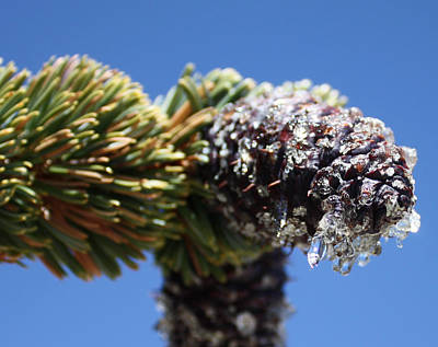 Photograph - Jeweled Pinecone by Daniel Schubarth