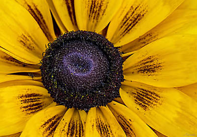 Photograph - Jeweled Yellow Sunflower  by Renee Anderson