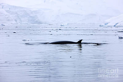 Fournier Photograph - Joe Fox Fine Art - Antarctic Minke Whale Balaenoptera Bonaerensis Surfacing With Dorsal Fin In Fournier Bay Antarctica by Joe Fox