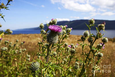 Joe Fox Fine Art - Cirsium Vulgare Common Spear Thistle In Loch Ness Scotland Art Print by Joe Fox