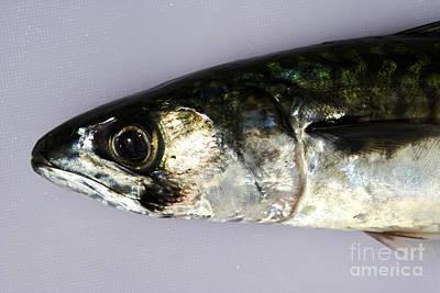 Joe Fox Fine Art - Head Of Freshly Caught Mackerel Fish On A Plastic Chopping Board Art Print by Joe Fox