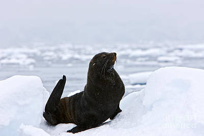Joe Fox Fine Art - Juvenile Antarctic Fur Seal Arctocephalus Gazella Sirtting Up Floating On Iceberg Art Print