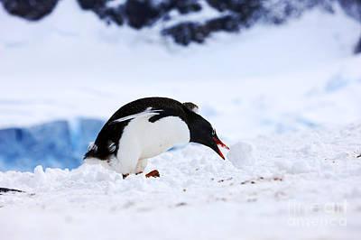 Joe Fox Fine Art - Juvenile Gentoo Penguin Pygoscelis Papua Rolling Picking Up Ball Of Snow At Neko Harbour Arctowski Peninsula Antarctic Mainland Antarctica Art Print by Joe Fox