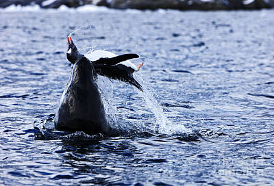 Ending Life Photograph - Joe Fox Fine Art - Leopard Seal Hydrurga Leptonyx Attacking And Killing A Gentoo Penguin by Joe Fox