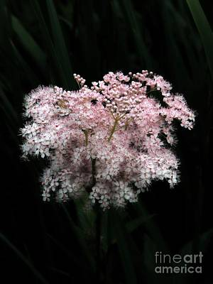 Photograph - Joe Pye Weed by Marcia Lee Jones